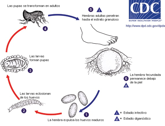 tungiasis2_lifecycle_esp